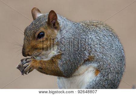 Cute Grey Squirrel