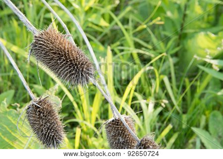 Dried Teasels (Dipsacus), with greenery background