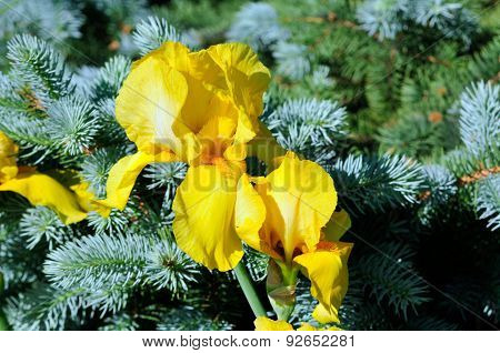 Flower of an iris on a background of blue spruce needles.
