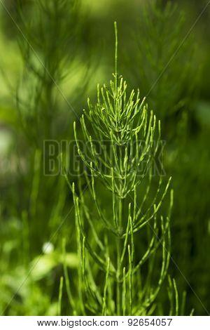 Horsetail (equisetum) Healing Plant