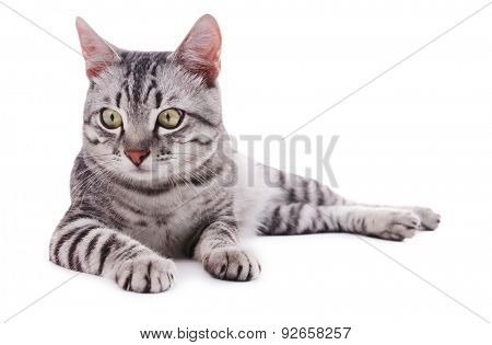 Beautiful cat isolated on white