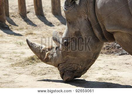 closeup shot of a white rhinoceros