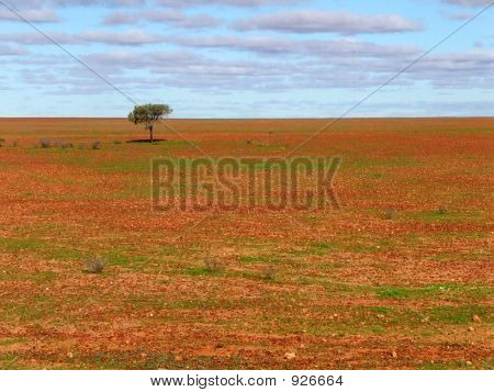 Lone Tree On Gibber Plain