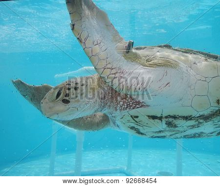 Rehabilitation of sea turtle in Florida