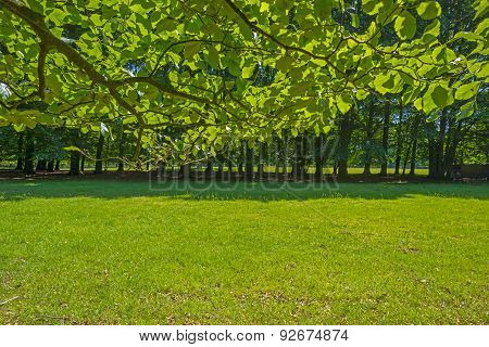 Foliage of a beech forest in sunlight in spring