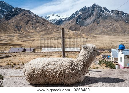 Alpaca In The Tourist Spot, Peru