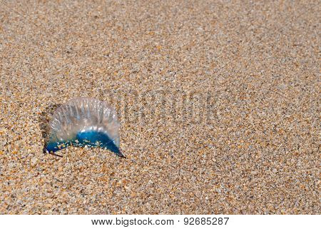 Portugese Man-of-war
