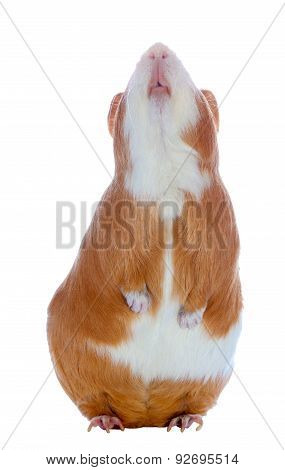 Guinea pig on the hind legs