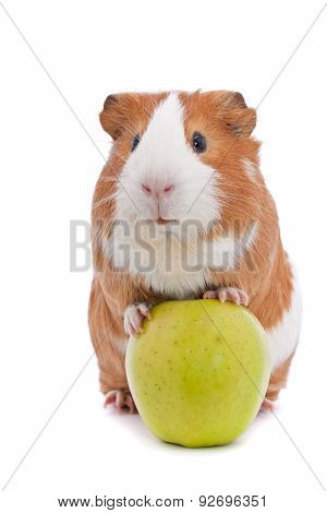 guinea pig with green apple