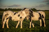 pic of pony  - Piebald ponies on Port Meadow in Oxfordshire - JPG