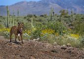 image of pit-bull  - Pit Bull Terrier running in the Arizona Desert with spring wildflowers blooming along the trail. ** Note: Soft Focus at 100%, best at smaller sizes - JPG