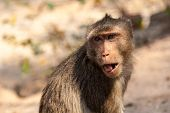 image of hairy tongue  - Portrait of a small brown monkey with his tongue out close - JPG