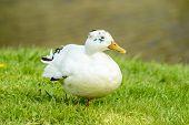 picture of tame  - One white mallard or wild duck  - JPG