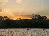 image of black swan  - Black swans swimming on river at sunset - JPG