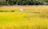 stock photo of marsh grass  - White snowy egret flying over wetland marsh - JPG
