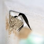 stock photo of swallow  - Images in the natural light of the make of the nest of swallows - JPG
