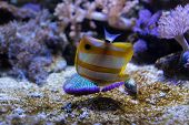 picture of butterfly fish  - Copperband butterfly fish touching the sea ground of the aquarium - JPG