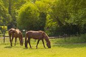 picture of horses eating  - Two Brown Horses Eating Grass in Field - JPG