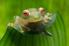 pic of animal eyes  - tropical glass frog from Amazon rain forest - JPG