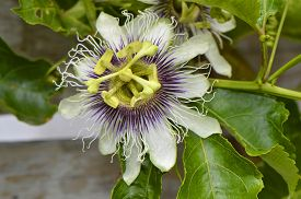 pic of possum  - Passion vine Latin name passiflora Possum Purple - JPG