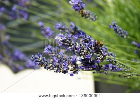 The flowers are fragrant lavender during flowering