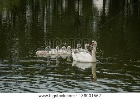 A view of happy family of swans floating on the water
