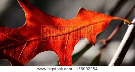close up of a red pin oak leaf in sunshine
