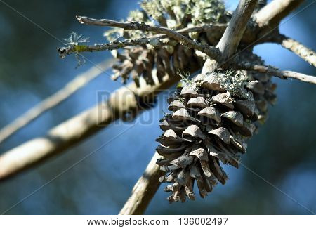 Close up of Pine cones on dry branch