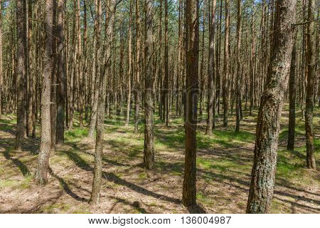 Pine wood on sand dunes at Curonian Split