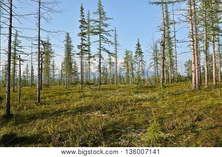 Taiga Taimyr. Summer forest landscape in Eastern Siberia.
