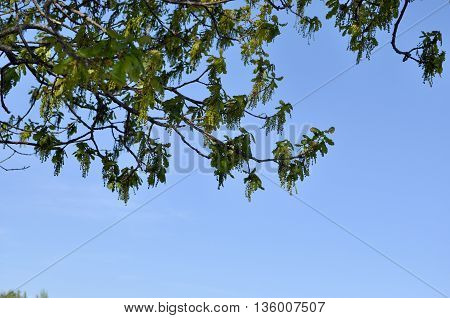 The blossoming branch of the oak tree in may against the blue clear sky.