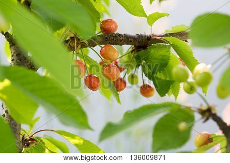 Berries cherries on a tree branch in the garden. immature cherries