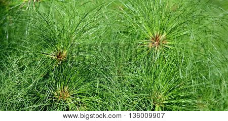 Close up of green Cyperus papyrus grass