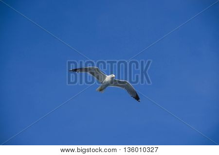 white sea bird soaring in the blue sky spreading wings