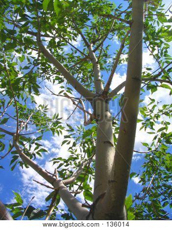 Aspen Tree Sky