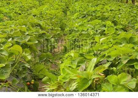 farm for strawberry cultivation in greenhouses under plastic wrap