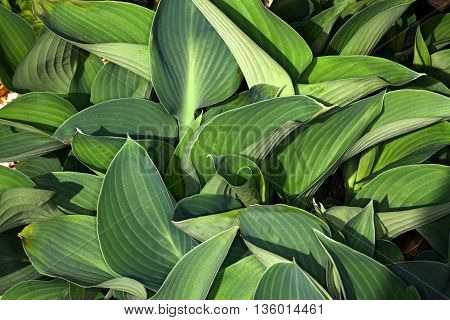Textures and hues of green in this pattern of natural plants in a hosta bed