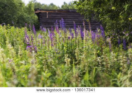 A field of beautiful purple wildflowers on a background of the abandoned village house