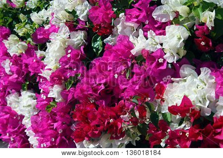 floral background Bougainvillea colorful flight flourishing, colorful