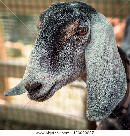 Portrait of beautiful adult Nubian goat closeup