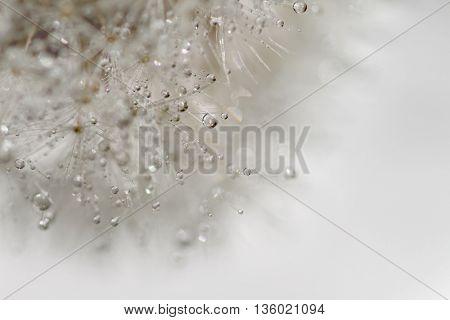 Dandelion macro background