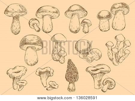 Old fashioned illustration of edible mushrooms sketch icons with fresh chanterelles and champignons, honey agarics and porcini, brown cap boletus, cep and morel