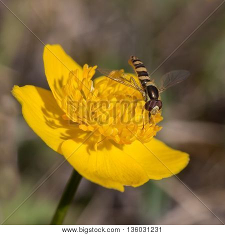 Hoverfly collects pollen on a bright yellow flower