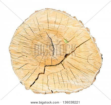 sawed birch tree cut isolated on a white background