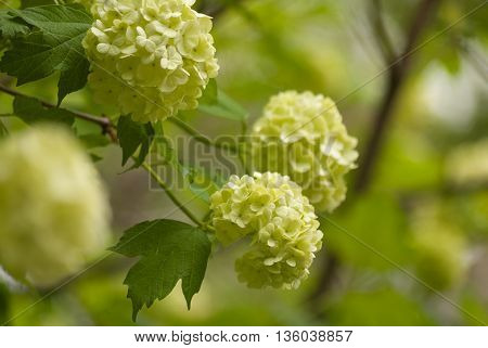 Branch of white viburnum snowball on blurred floral background.