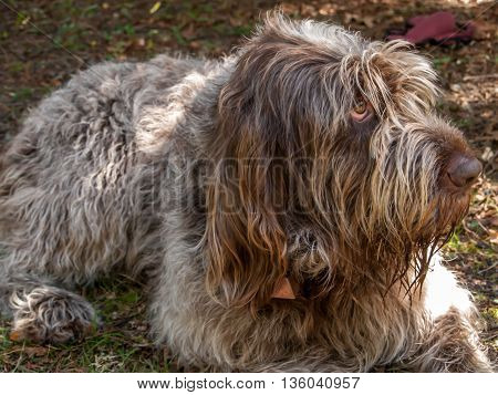 Italian Spinone dog laying on the grass