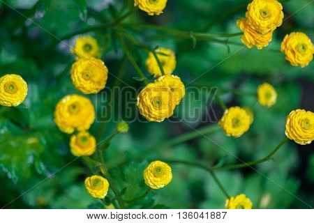 Floral background with yellow small decorative flowers. Garden buttercup. Natural background
