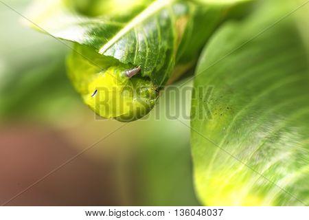 The green caterpillar creep eat leaf.. ..