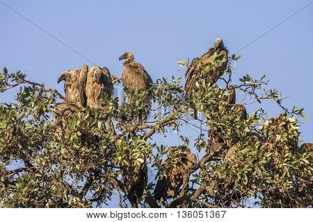 white backed vultures open wings on a tree in Kruger Park