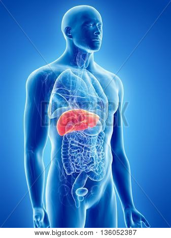 3d rendered, medically accurate illustration of the liver